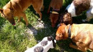 Anticiper sur les risques de bagarre entre chiens